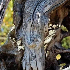 Cynthia Guinn - Swan Face In Driftwood