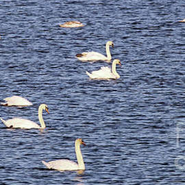 Steve Gass - Swan Lake