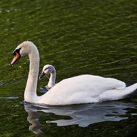 Rona Black - Swan Mother with Cygnet
