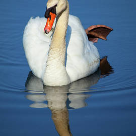 Karol Livote - Swan Reflection
