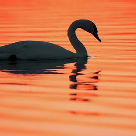 Roeselien Raimond - Swan Silhouette