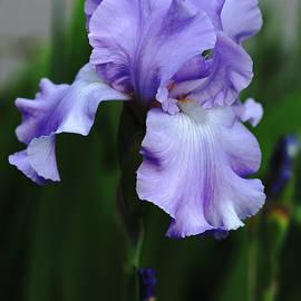 Debbie Oppermann - Sweet Blue Orchid Iris