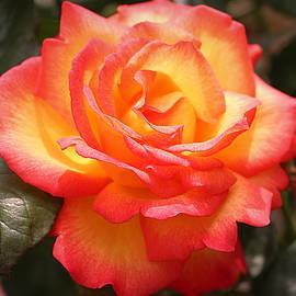 Vicky Adams - Sweet Desire Rose