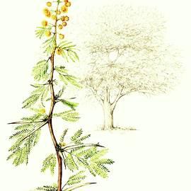 Sweet Thorn Botanical Illustration