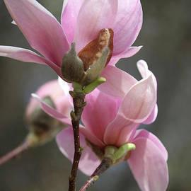 Carol Groenen - Sweetest Pink Magnolia