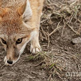 Brad Allen Fine Art - Swift Fox I