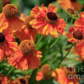 Tracy  Hall - Swinging Heleniums.