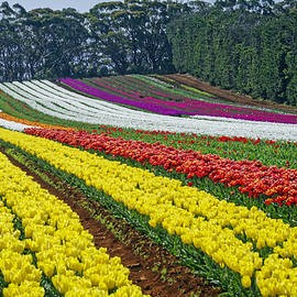 Tony Crehan - Table Cape Tulip Farm Field 2015, Tasmania, Australia