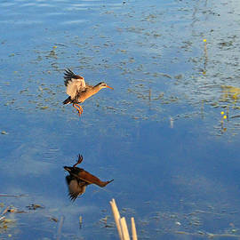 Asbed Iskedjian - Take-off flight of the the Virginia Rail