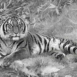 Wes and Dotty Weber - Takin it Easy Tiger Black and White W6594