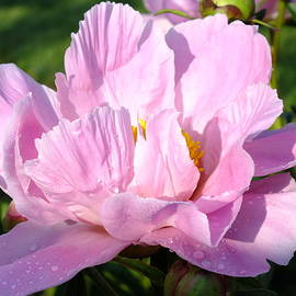 Cindy Treger - Bowl of Beauty Peony - Opening