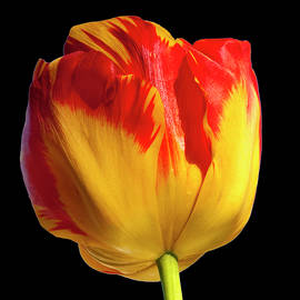Cathy Kovarik - Tall Tulip