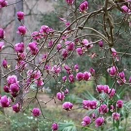 Carol Groenen - Tallahassee Treasures - Pink Magnolias
