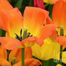 Regina Geoghan - Tantalizing Tulips