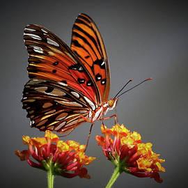 Reid Callaway - The Taster Gulf Fritillary Butterfly Art