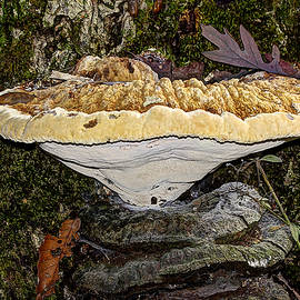 Mother Nature - Tearful Polypore - Inonotus Radiatus - Bracket Fungus