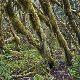 Cathy Mahnke - Temperate Rainforest Trees