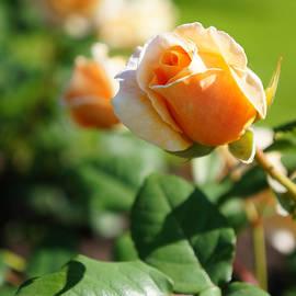 Helene Fallstrom - Tender apricot rose bud