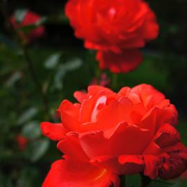 Helene Fallstrom - Tenders delight roses