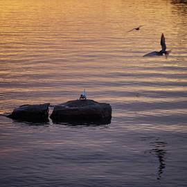 Jouko Lehto - Terns fishing at sunset