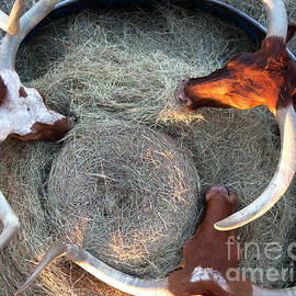 Greg Kopriva - Texas Longhorn Cattle, Ft. Worth Stockyards