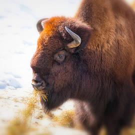 Karol Livote - The American Bison