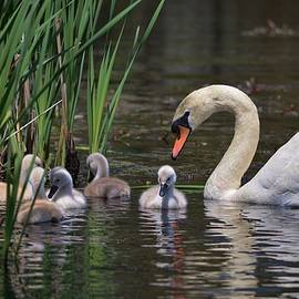 Linda  Howes - The Baby Swans with Mom