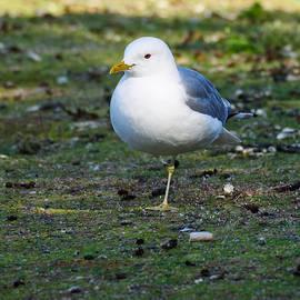 Jouko Lehto - The Balance of the Common Gull