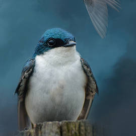 Jai Johnson - The Beautiful Tree Swallow