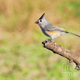 Gary Richards - The Black-Crested Titmouse