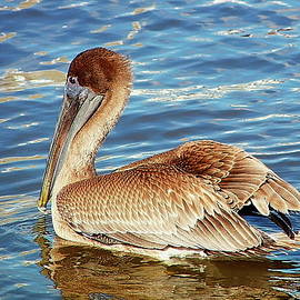 Gina Welch - The Brown Pelican
