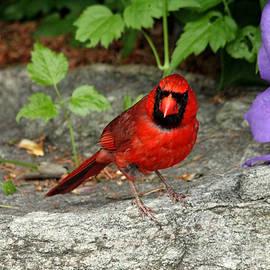 Debbie Oppermann - The Cardinal Stare