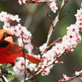 Trina  Ansel - The Cardinal