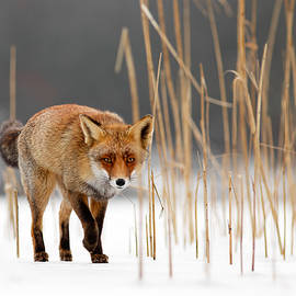Roeselien Raimond - The Catcher in the Reed - Red Fox Walking on Ice
