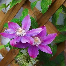 Ernie Echols - The Clematis Flowers