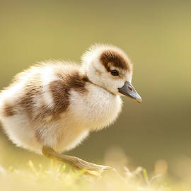 Roeselien Raimond - The Cute Factor - Egyptean Gosling