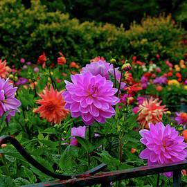 Glenn Thomas Franco Simmons - The Dahlia Garden in Golden Gate Park