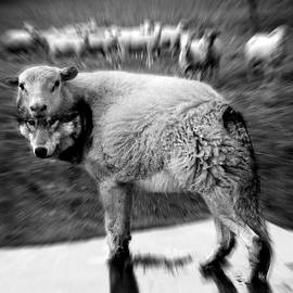 Marian Voicu - The Flock Is Safe grayscale