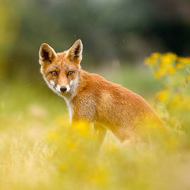 Roeselien Raimond - The Fox and the Flowers