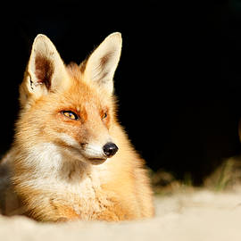 Roeselien Raimond - The Fox and the Light