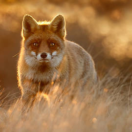 Roeselien Raimond - The Fox with the Golden Face