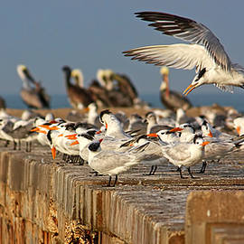 HH Photography of Florida - The Gathering - Terns - Pelicans