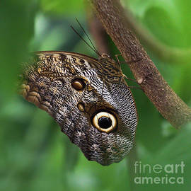 Colin Hunt - The Giant Owl Butterfly