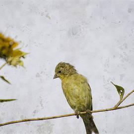 Saija  Lehtonen - The Goldfinch and the Sunflower