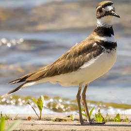Ricky L Jones - The Handsome Killdeer