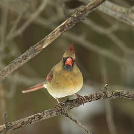 Mother Nature - THE HARIDAN - Northern Cardinal - Cardinalis cardinalis