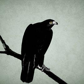 The Hawk - Mark Rogan