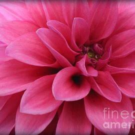 Dora Sofia Caputo Photographic Art and Design - The Hot Pink Dahlia of Summer
