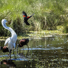Belinda Greb - The Ibis Ignore the High Drama at the Pond