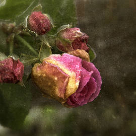 Robert Murray - The Last Rosebuds